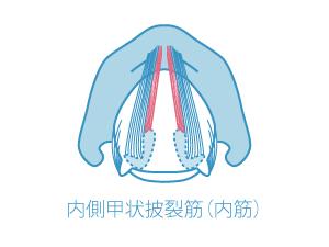 内側甲状披裂筋