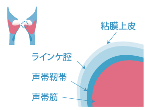 粘膜上皮→ランイケ膣→声帯靭帯→声帯筋