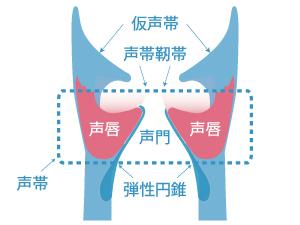 声唇-声帯靭帯