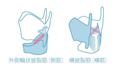 外側輪状披裂筋(側筋)と披裂間筋(横筋)
