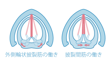 外側輪状披裂筋(側筋)と披裂間筋(横筋)の働き