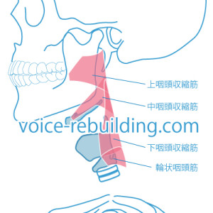 咽頭収縮筋