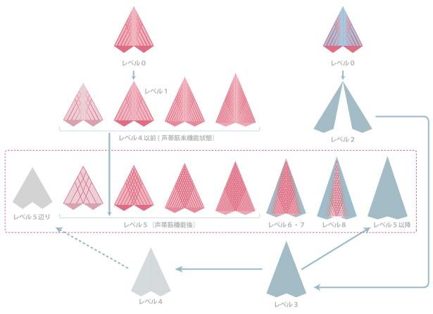 声帯の成長工程